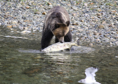 Grizzly-Bear-Tours-Vancouver-Island