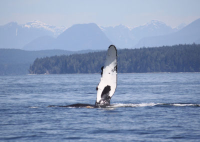 Whale-Watching-Tours-vancouver-island