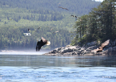 Wildlife-Adventure-Tours-Campbell-River-eagles