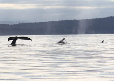 Wildlife-Adventure-Tours-Campbell-River-whales