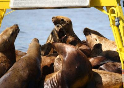 bc-wildlife-viewing-tours-seals