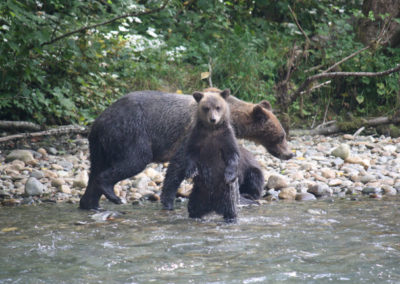 campbell-river-vancouver-island-grizzly-bear-tour