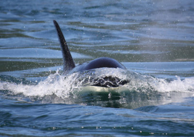 whale-watching-tours-canada-killer-whales