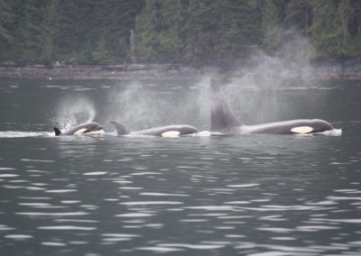 whale-watching-tours-canada-killer-whales-orcas